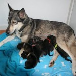 Shasta met 6 puppies 6 november 2015
