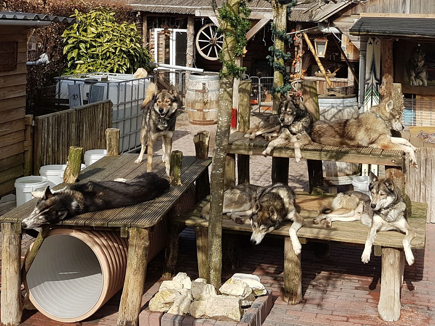 Husky's in de zon