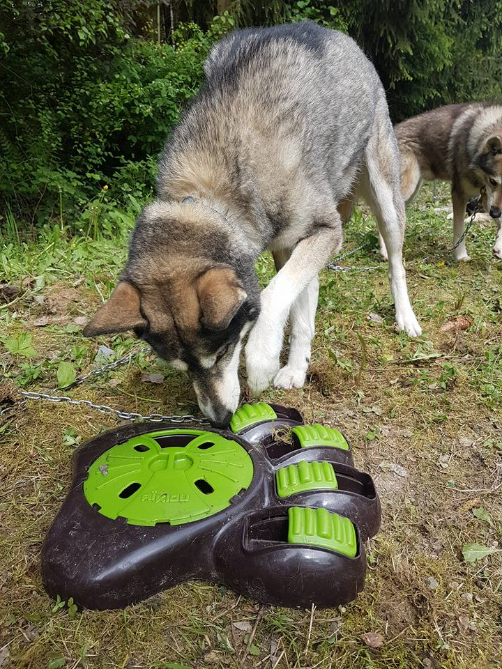 Husky Braintrainer