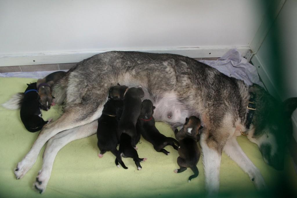 Taisai met haar 7 puppies