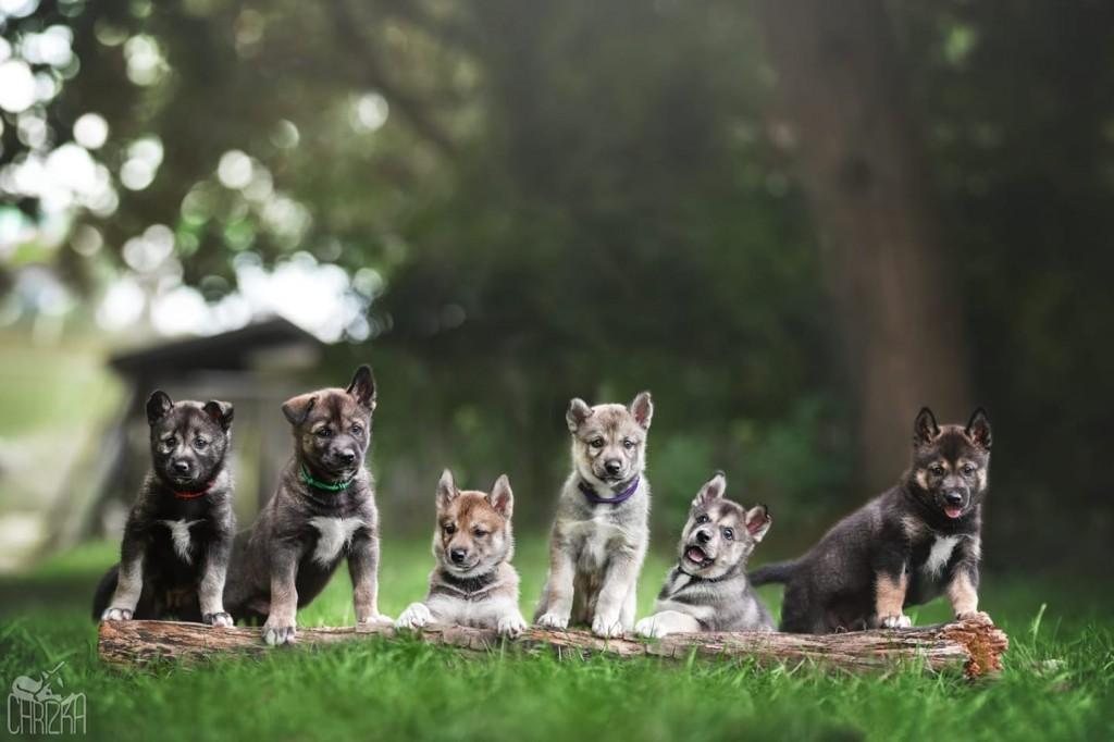 Puppies Griffin's Pride